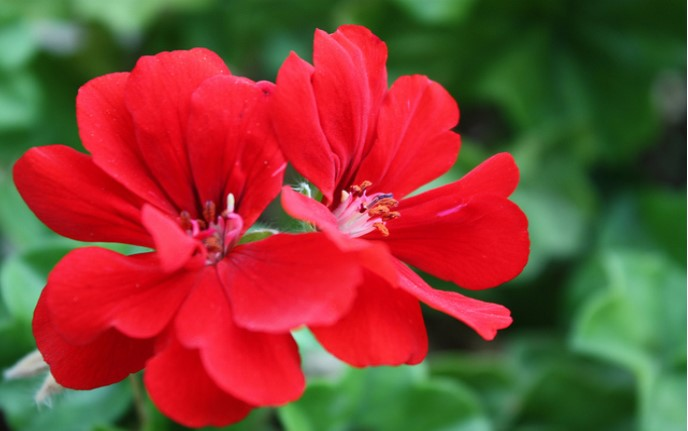 Geraniums for Pentecost – June 4